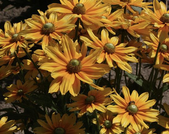 Flowers with bright yellow petals that change to orange toward the green center cones.