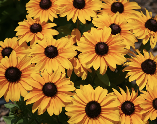 A bunch of flowers with many orange-gold petals and dark brown cones.