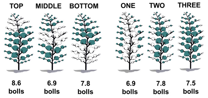 Top, 8.6 bolls; middle, 6.9 bolls; bottom, 7.8 bolls; first-position, 6.9 bolls; second-position, 7.8 bolls; third-position, 7.5 bolls.