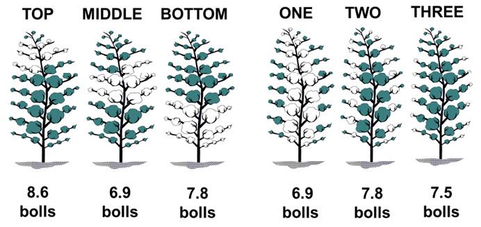 Top, 8.6 bolls; middle, 6.9 bolls; bottom, 7.8 bolls; first-position, 6.9 bolls; second-position, 7.8 bolls; third-position, 7.5 bolls.