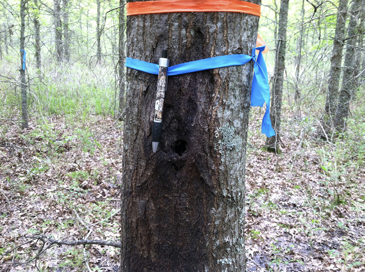 Close-up of a tree trunk with both orange and blue flags. The trunk has a large damaged area.