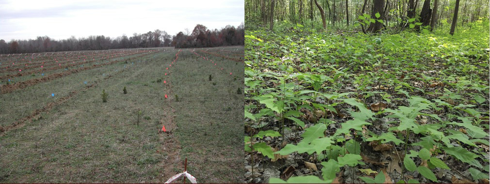 An oak plantation shows very widely spaced, small seedlings in an open field, compared to a naturally regenerated forest floor with many very closely spaced seedlings.