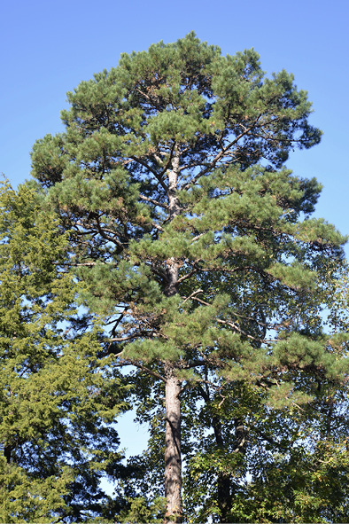 A tall, full pine tree against a bright blue sky.