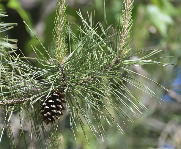 Close up of pine needles and one pine cone.