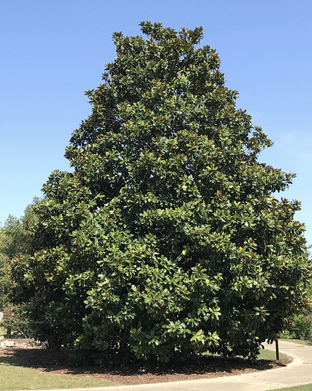 A large, full, cone-shaped tree with green leaves.