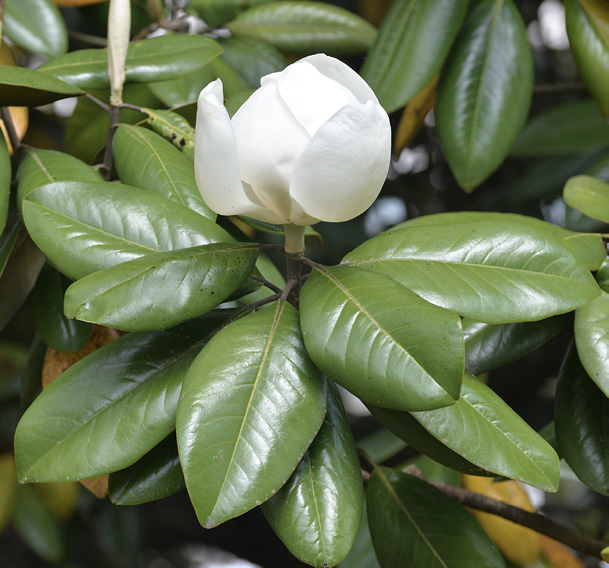Close up of a bunch of shiny, green magnolia leaves and a single, white flower.