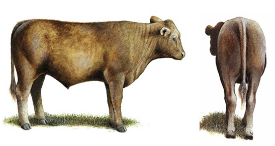 Side and rear view of a No. 1 feeder calf.