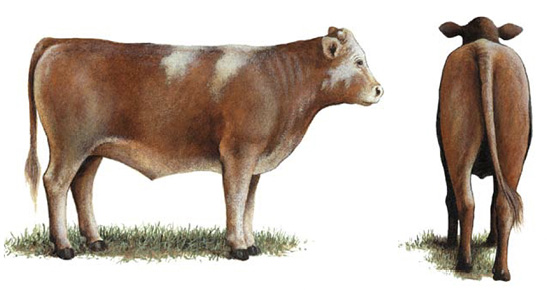 Side and rear view of a No. 2 feeder calf.
