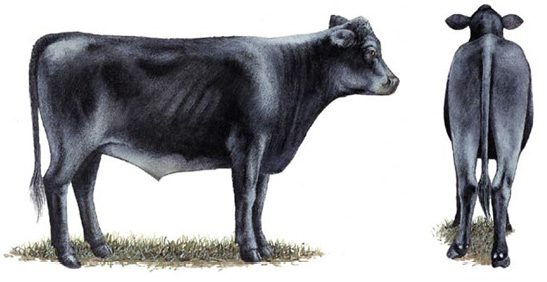 Side and rear view of a No. 3 feeder calf.