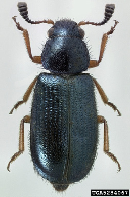 A black beetle with reddish-brown legs. Photo by Michael C. Thomas, Florida Department of Agriculture and Consumer Services, Bugwood.org.