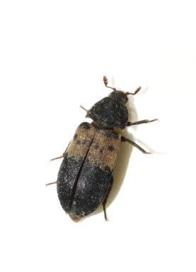 A black bug with a thick, horizontal, tan stripe on its back.