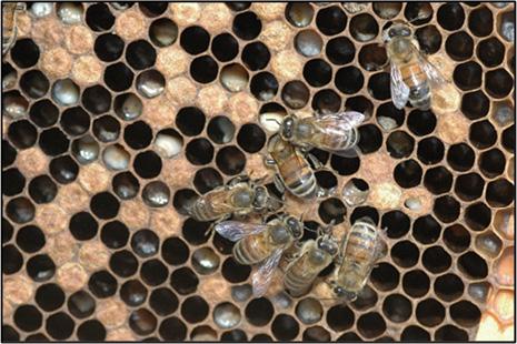 Closeup of seven honey bees on a comb.