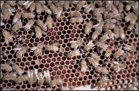 Closeup of many honey bees and many tiny beetles on a comb.