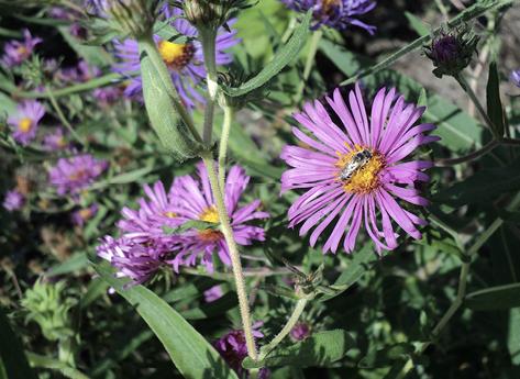 A honey bee on a purple flower.