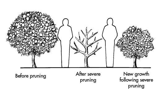 Drawing of a bush before pruning, after a severe pruning, and after new growth following a severe pruning. Human outlines beside the bushes show that the bush was a little taller than a person before pruning; shorter than a person and with six branches and no vegetation after a severe pruning; and shorter than a person but with very full vegetation after new growth following a severe pruning.