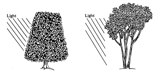 Drawing of two shrubs, both with light coming from the left side. One bush is narrower at the top and very full. The other is full at the top but has no vegetation on the bottom.