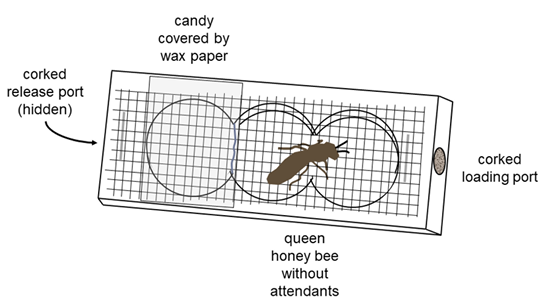 Diagram of a mailing cage with labels for a corked release port on one end, a corked loading port on the other end, candy covered by wax paper in one side of the cage, and a queen bee in the cage.