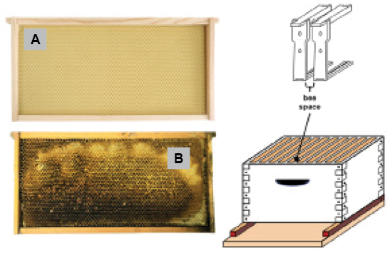 A composite graphic showing a clean rectangular piece of foundation in a wooden frame; a piece of foundation with dark portions where bees have added beeswax; and a diagram of a hive box showing the space between frames.