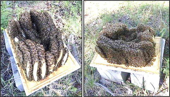 Layers of comb covered in bees. The combs are torn and collapsed in the middle.