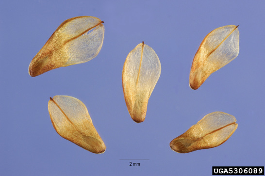 Five pine seeds on a blue background. The seed is at one end of a long, flat piece of light, woody material.