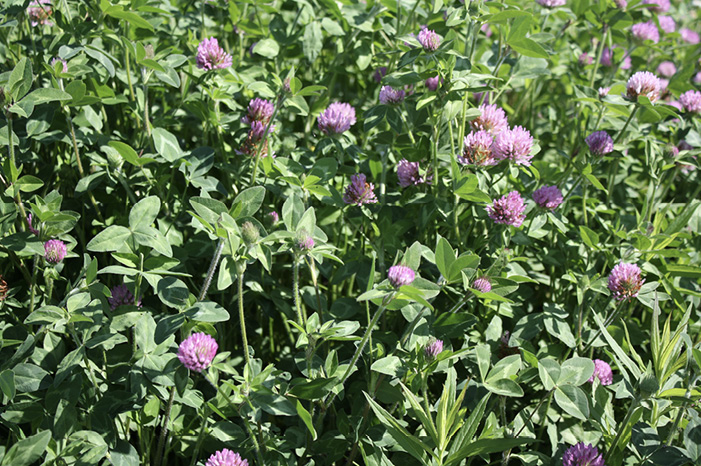 A mass of green clovers with purple flowers.