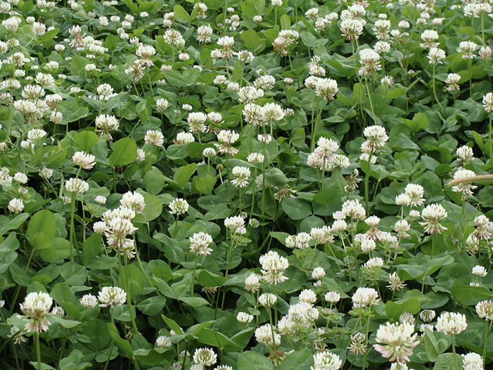 A mass of dark green clovers with white flowers.