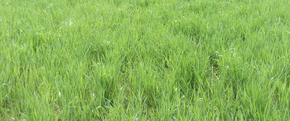 Tall blades of grass with wheat-like blades.
