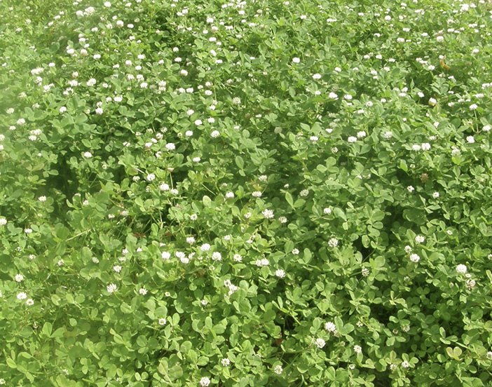 A mass of bright green clovers with white flowers.