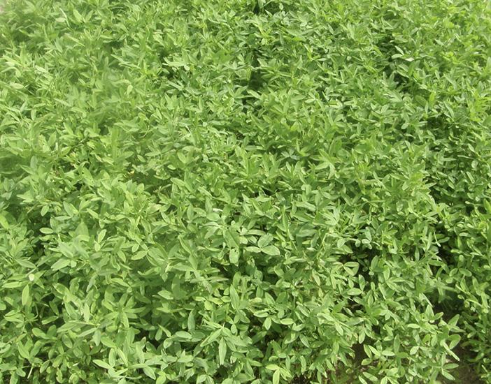 A mass of bright green clovers.