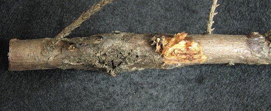 A section of a branch with a dark, decayed area and a peeled-back area (described in caption).