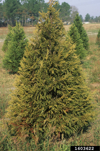 A Christmas tree with yellowish leaves growing among healthy trees.