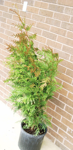 A potted evergreen with orange-brown upper leaves in front of a brick wall.
