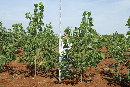 A researcher measures the height of cottonwood trees, which are taller than he is.