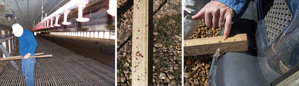Composite of three photos. The first photo is within an empty chicken house. There is a man, working. The second photo shows a close up of an infected piece of wood. There are dark spots on the wood. The third photo shows a person pointing at an infected piece of wood. There are dark spots on the wood where the person is pointing at.