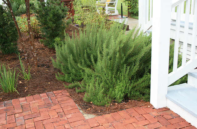 A tall cluster of rosemary sprigs next to white-painted wooden stairs and a brick patio.