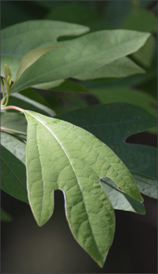 Figure one demonstrate the proper way to capture a leaf for tree identification. Make sure at least one full leaf is in view.