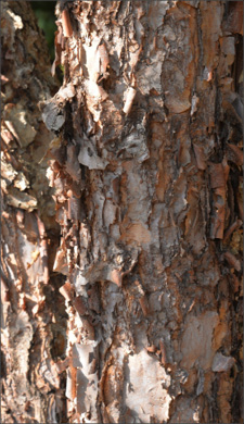Tree bark varies among trees and should be captured at close range to help experts identify the tree for proper classification.