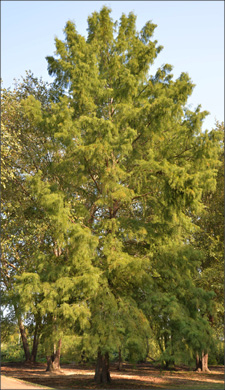 The full height of a tree is pictured in a forested area. To help experts identify a tree properly, ensure that a photo of the tree is taken within in its landscape and next to other trees for comparison.
