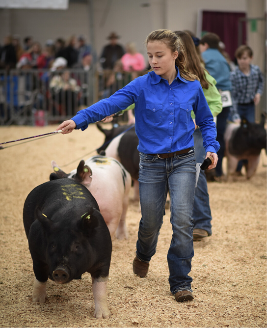 Young girl walks her competition hog during Dixie National Junior Roundup.