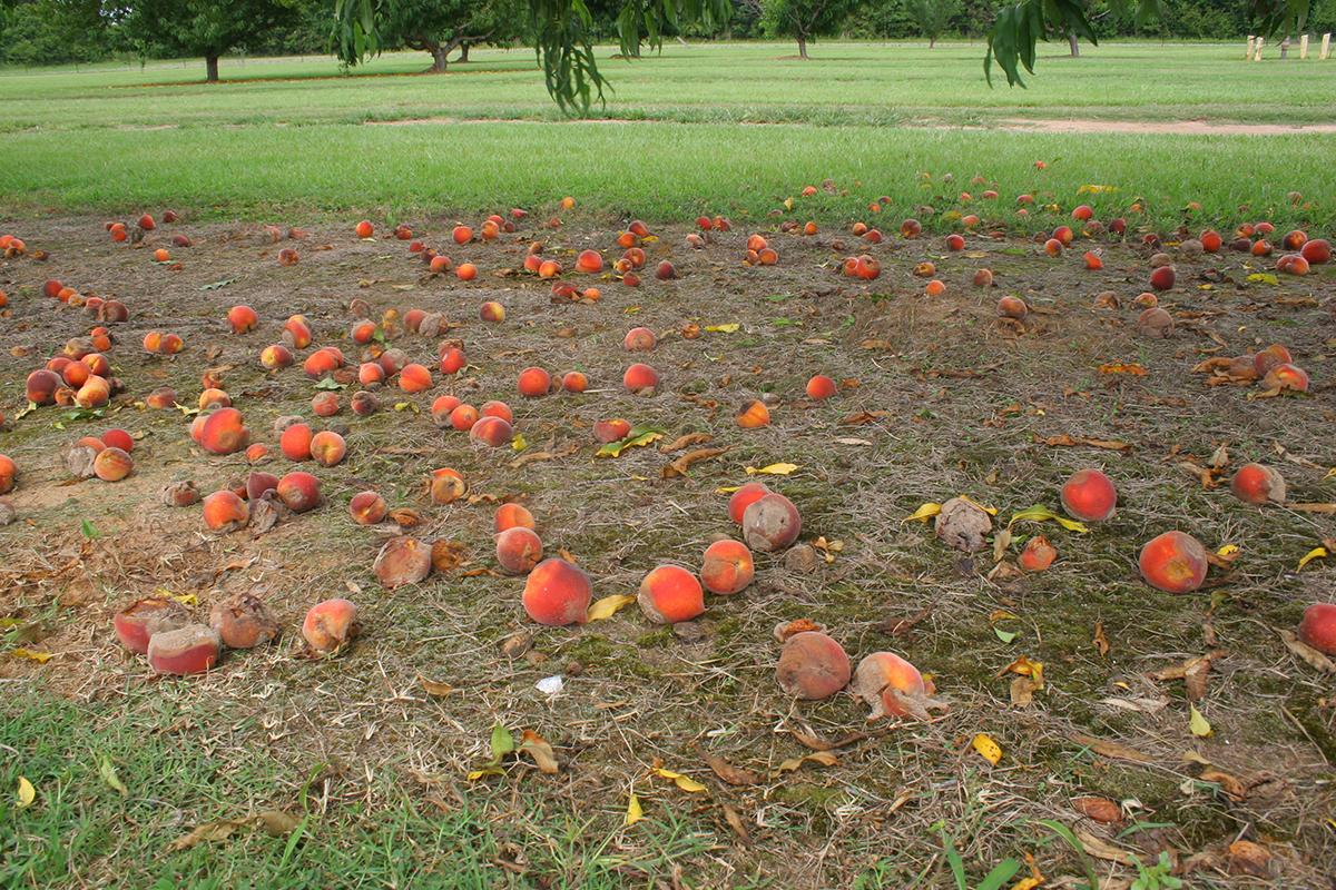 Esta é uma imagem de pêssegos no chão em torno de uma árvore de pêssego.