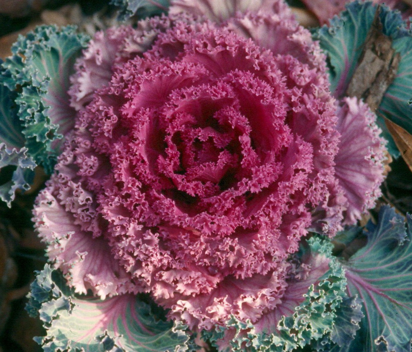 Add Winter Color With Flowering Cabbage Kale Mississippi State