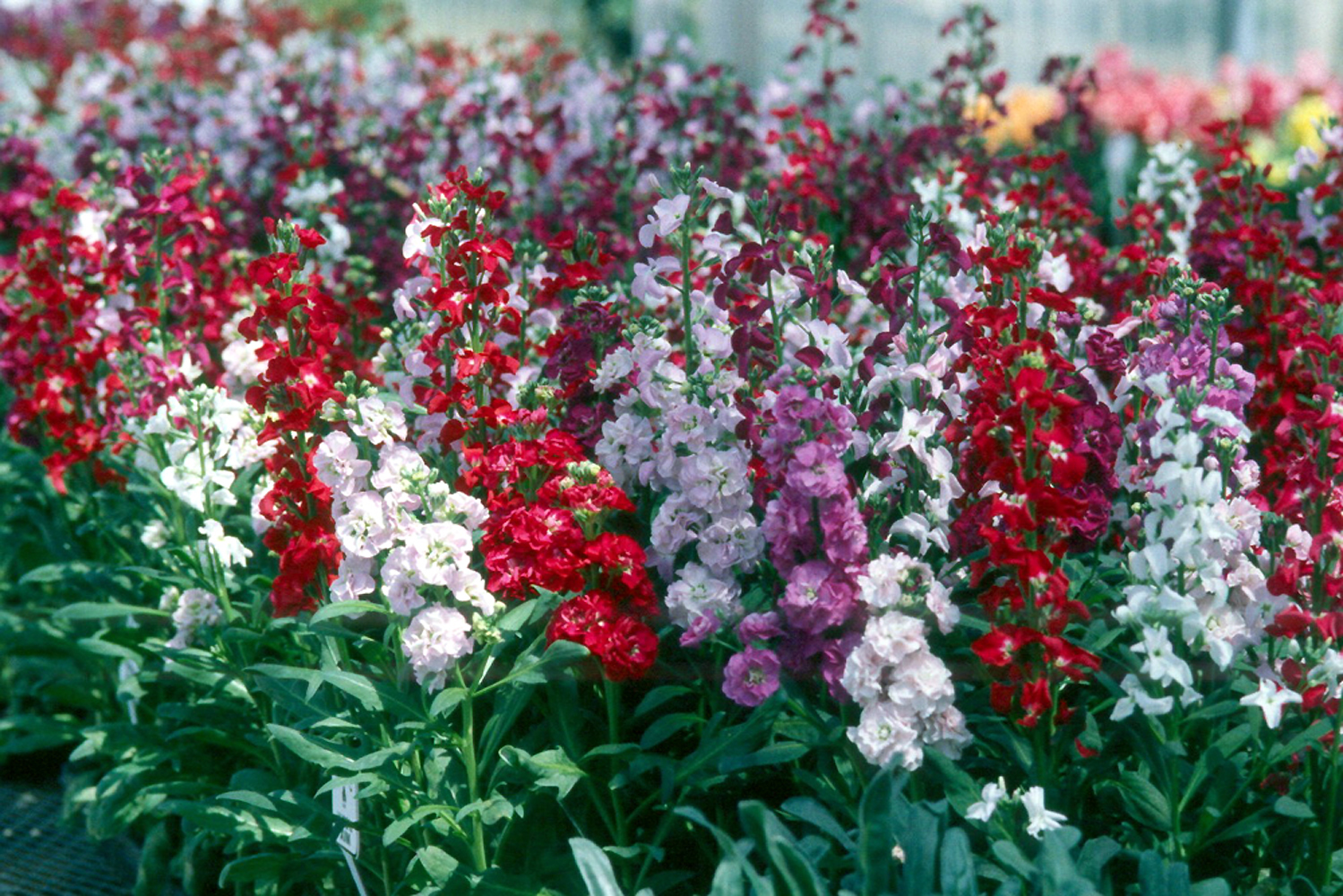 Stock Up On Cool Season Flowers Mississippi State University