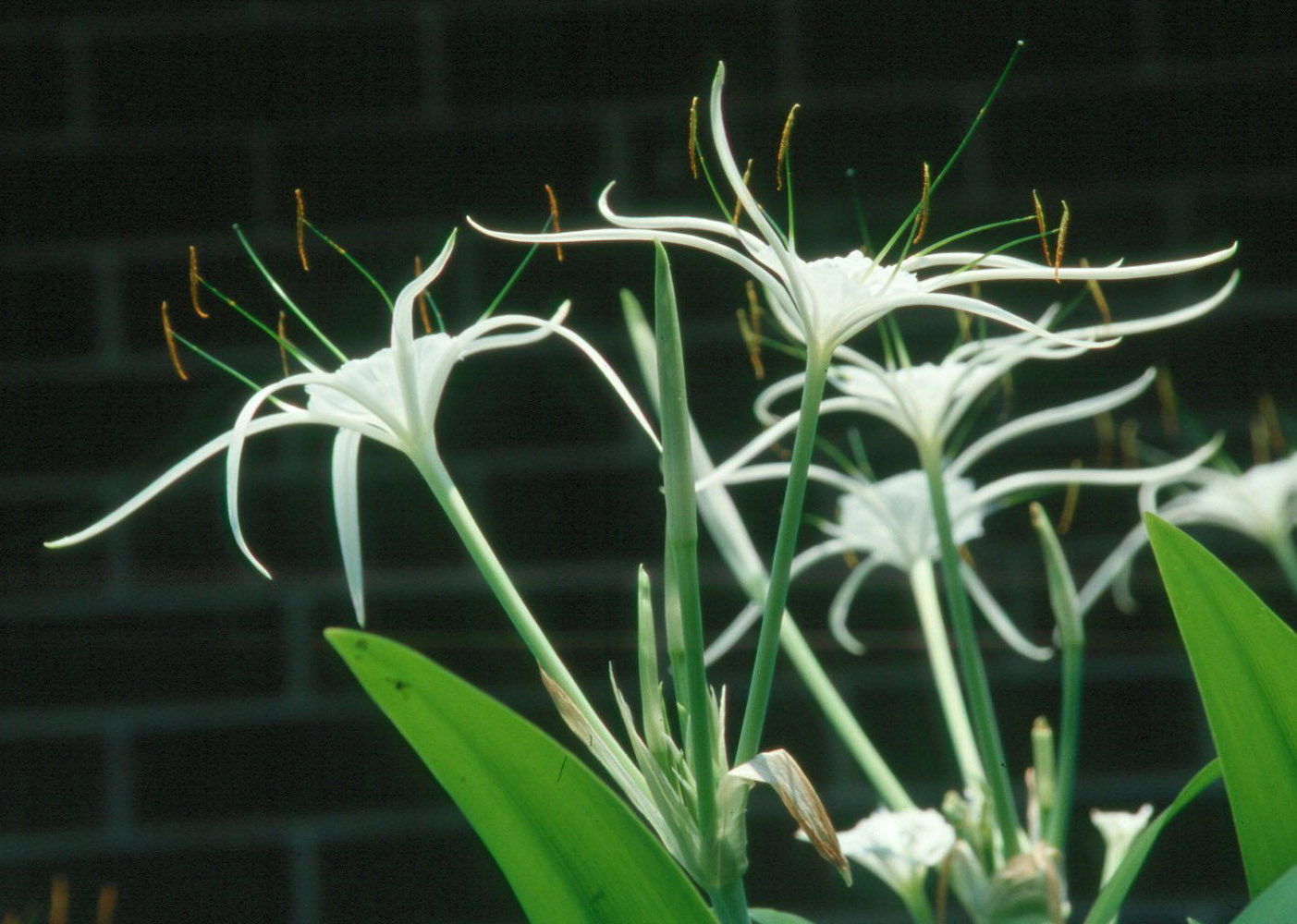 Bold Gardeners Grow Native Spider Lilies Mississippi State