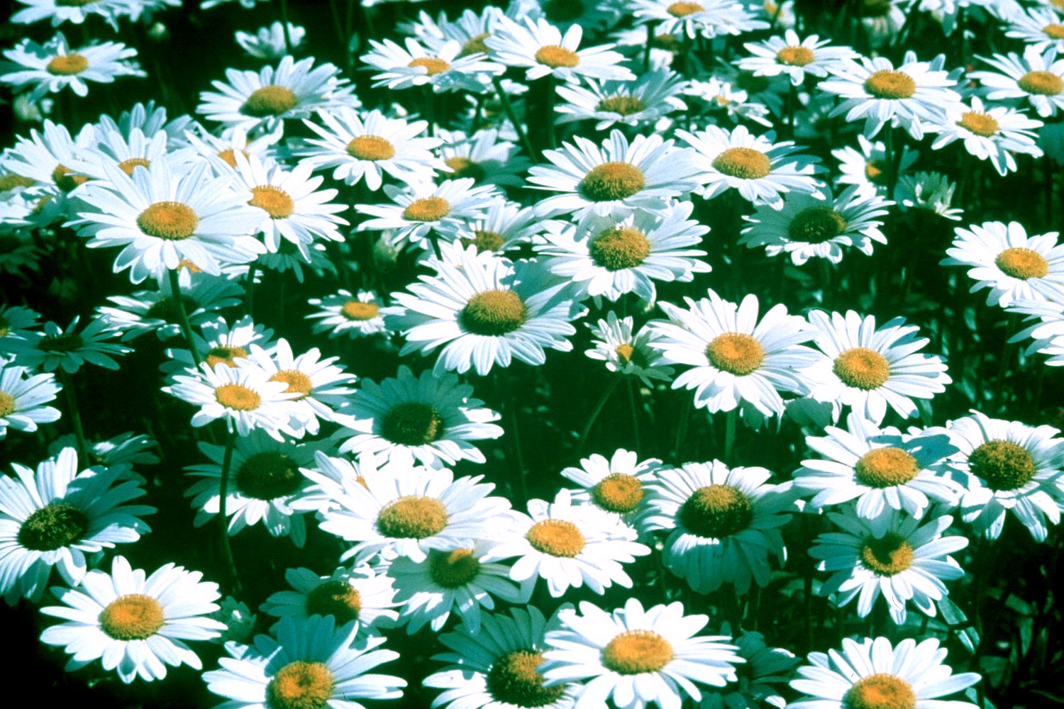 Becky Daisies Reign Among Perennials Mississippi State University