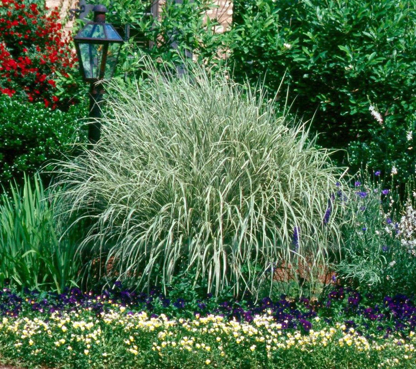 Ornamental Grasses Make Neighbors Green Mississippi State