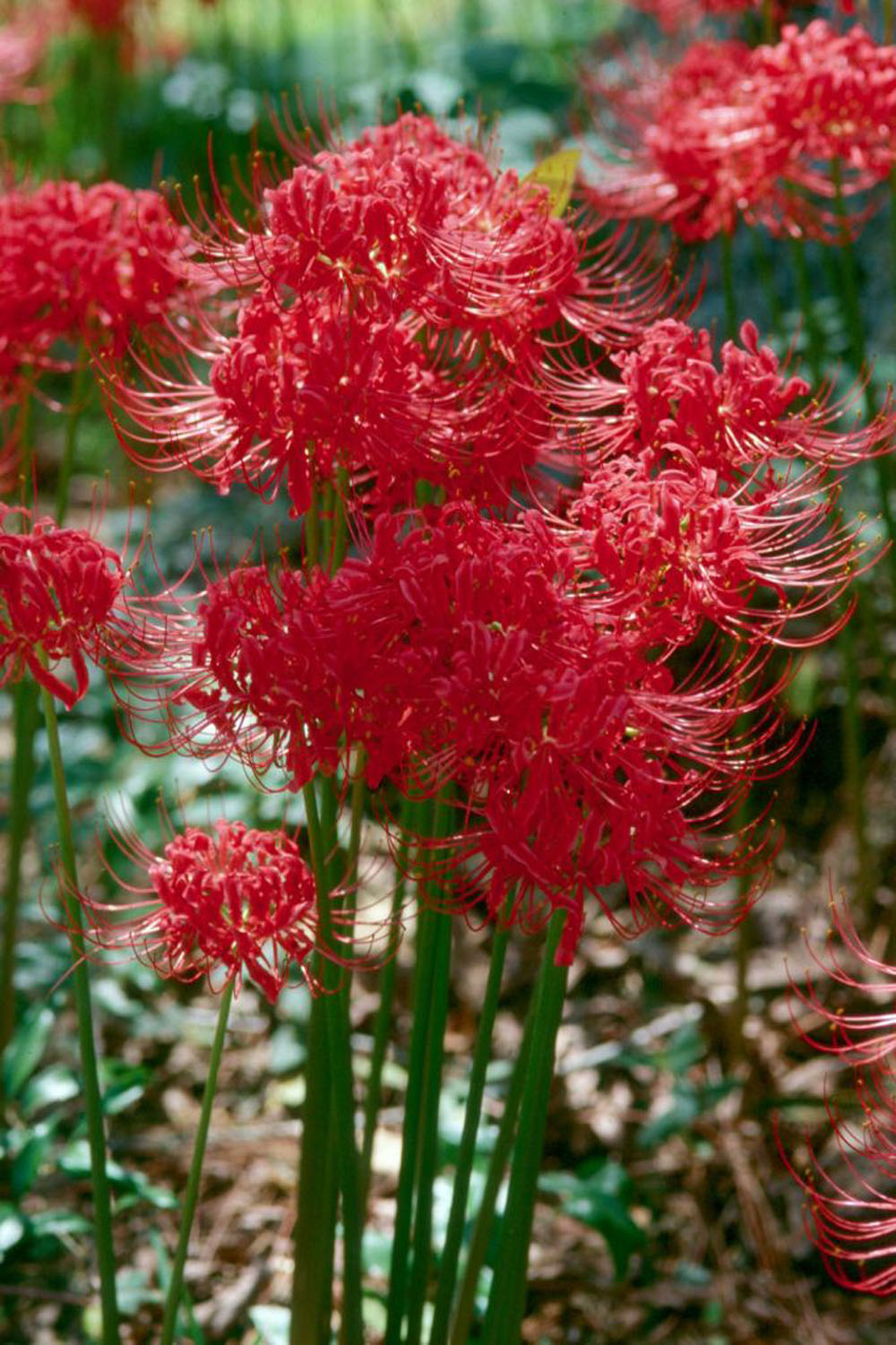 Red spider lily pops up surprises all once again mississippi because the red spider lily doesnt bloom long it makes a great addition izmirmasajfo