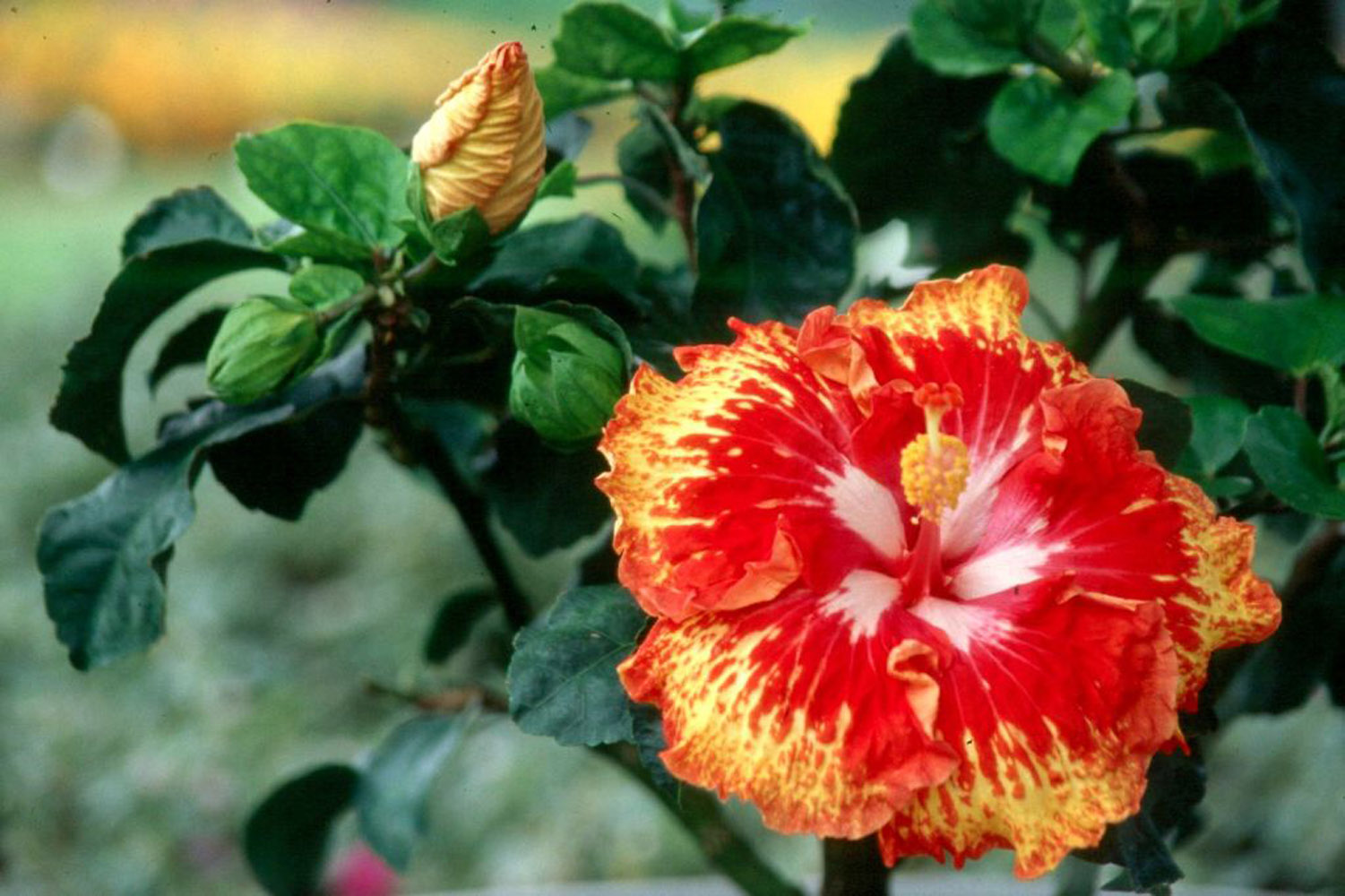 Incredible hibiscus coming this spring mississippi state one of the newest hibiscus is sun showers sun showers is indeed like a solar izmirmasajfo