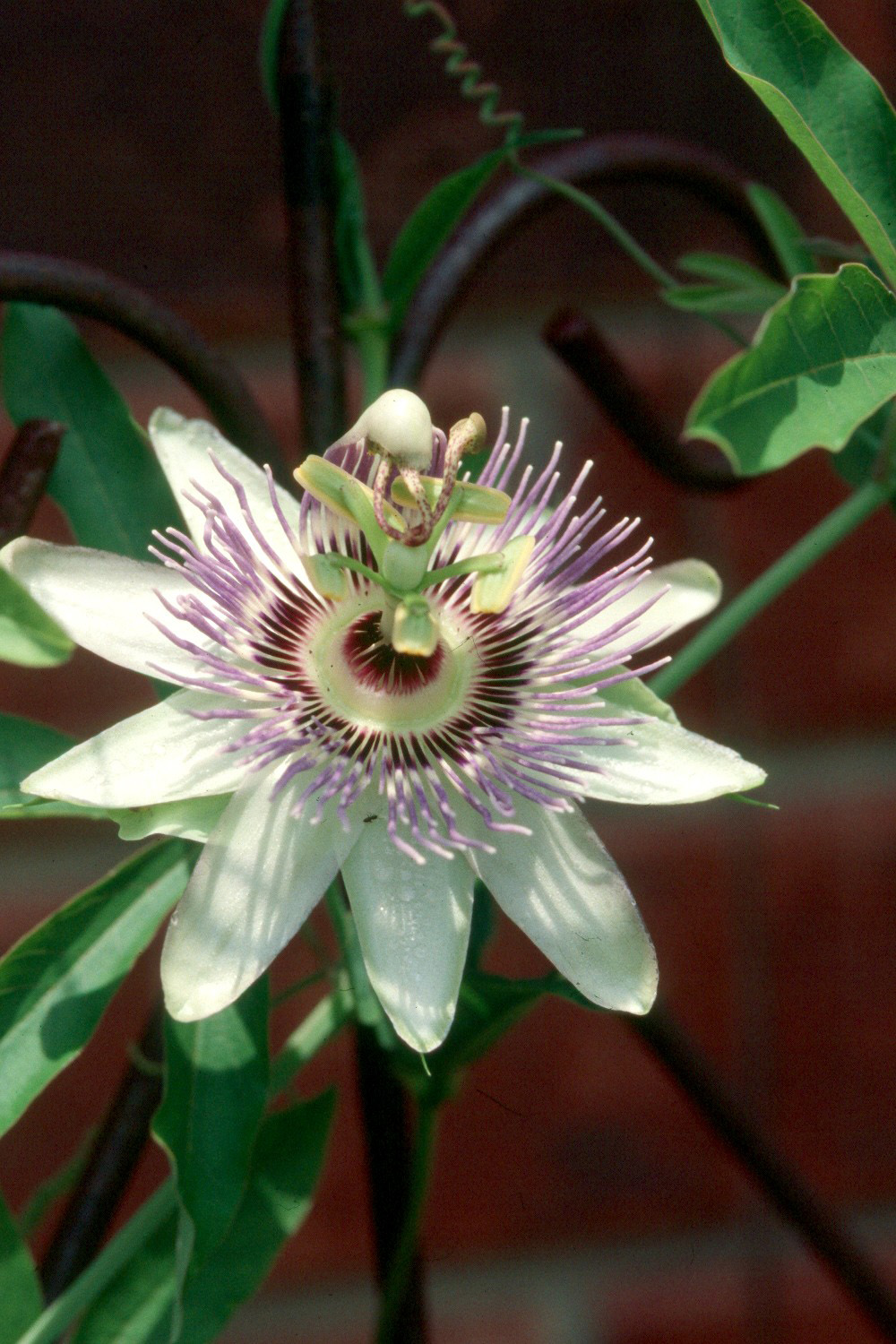 Blue Passionflower Is Cold Hardy Tropical Mississippi State