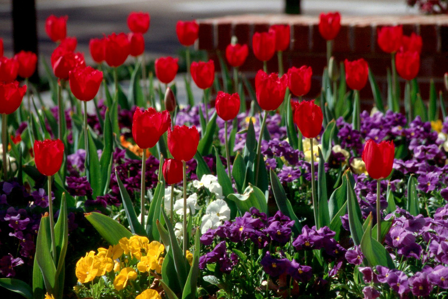 It S Time To Plant Tulips Hyacinths Mississippi State