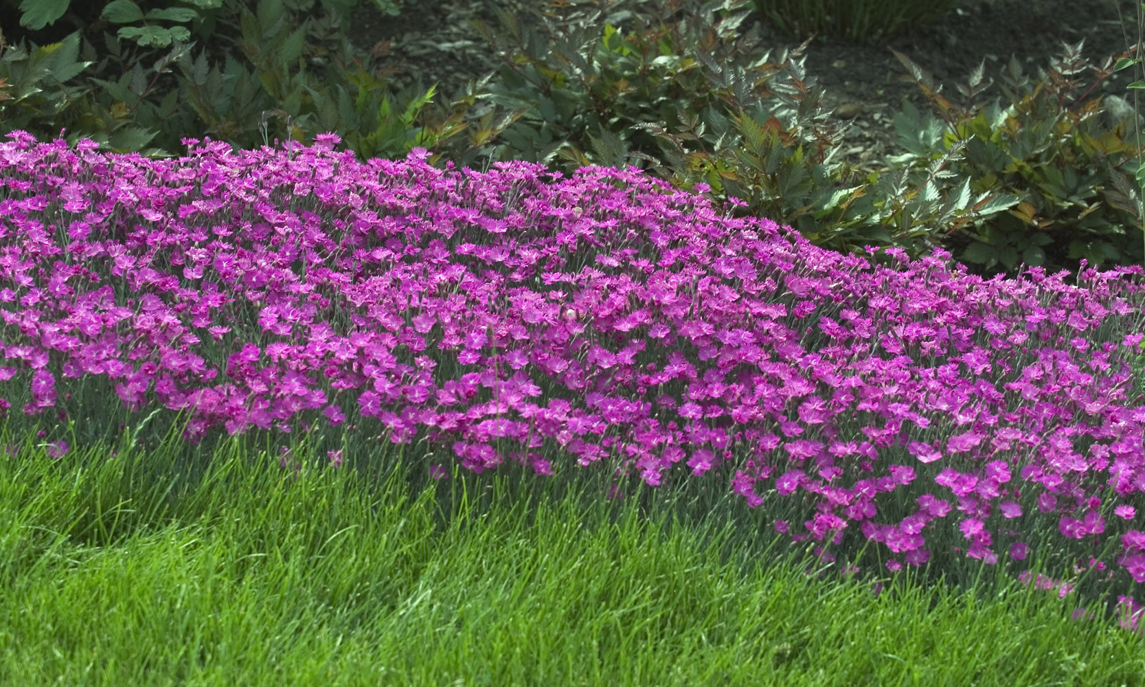 Firewitch Named 2006 Perennial Of The Year Mississippi State